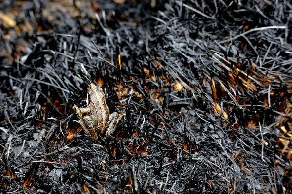 Ein Moorfrosch hat überlebt.  © Christoph Rückriem, Biologische Station Zwillbrock e.V.