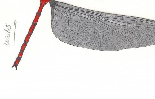 Das Schlüpfen der Libelle (Gunther Geltinger)